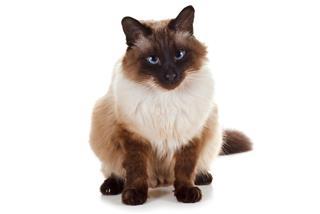 Balinese pet cat