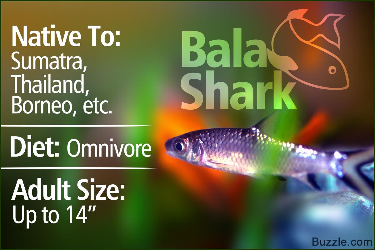 Bala Shark Facts