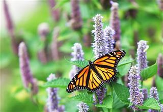 Monarch Butterfly (Danaus plexippus) on Lavender Anise Hyssop Blossom