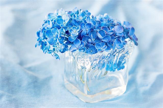 Beautiful blue hydrangea flowers