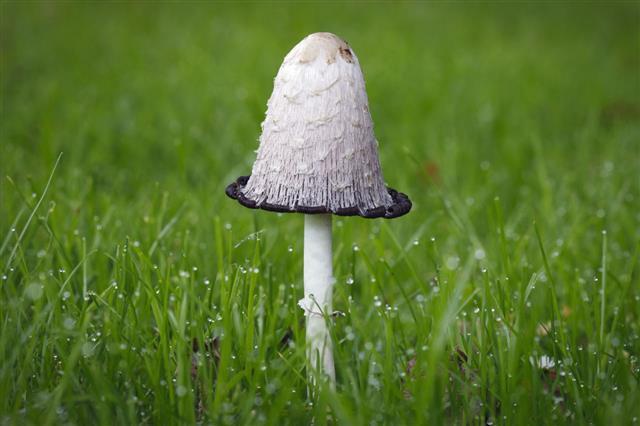 Single Ink Cap Mushroom