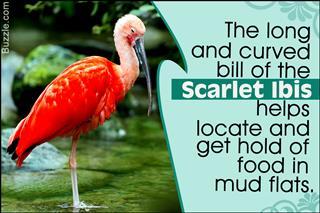 Scarlet Ibis fact