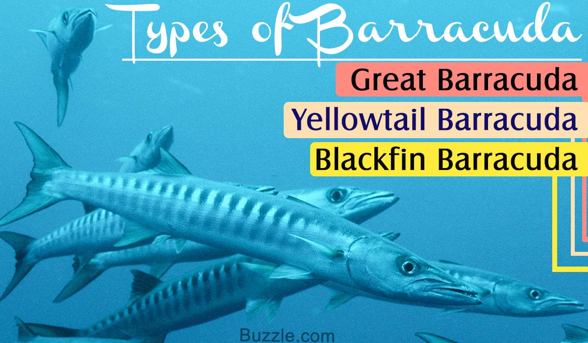 Types of Barracuda Fish