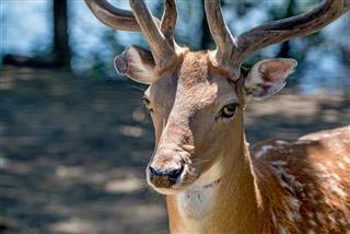 Closeup photography of fallow deer