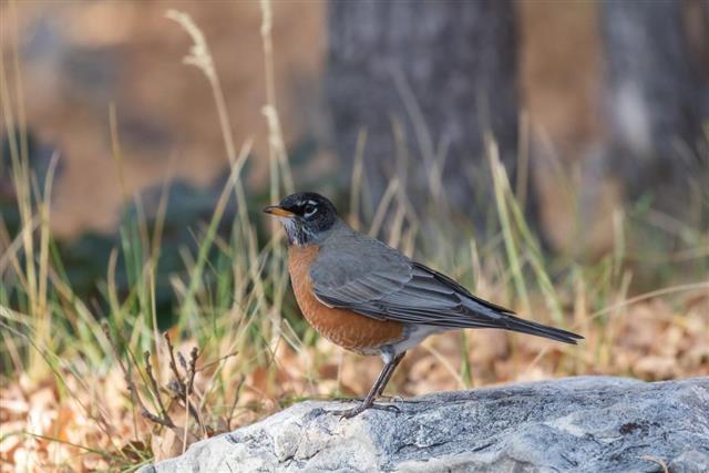 Closeup view of a American Robin