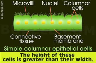 Simple columnar epithelial cells