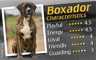 Characteristics of boxer-labrador mix breed