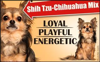 Personality traits of a shih tzu-chihuahua mix