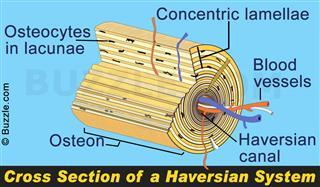 Diagram of Haversian system