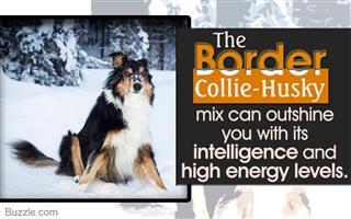 Border collie-husky personality traits
