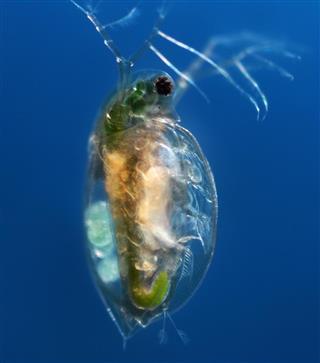 Closeup of a water flea floating Daphnia Pulex