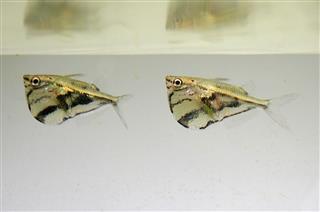 Interesting Facts About Hatchetfish