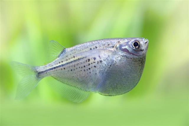 Freshwater hatchetfish