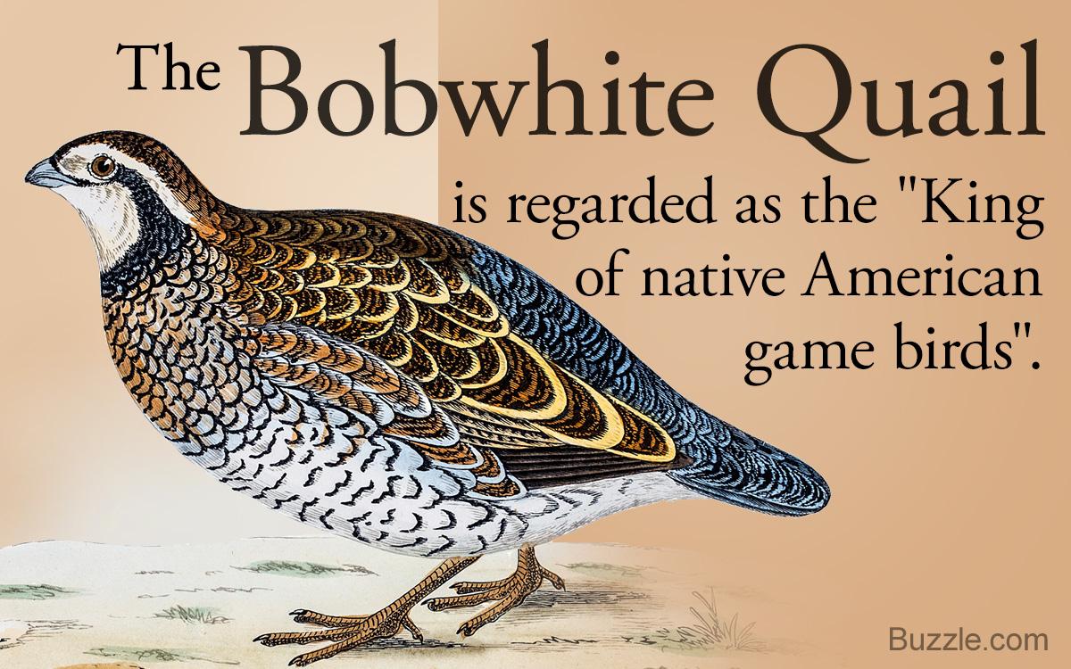 Fact about the Bobwhite quail