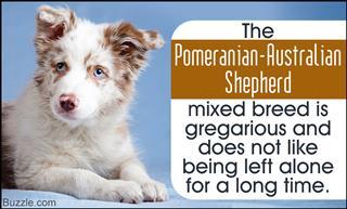 Pomeranian-Australian Shepherd mix traits