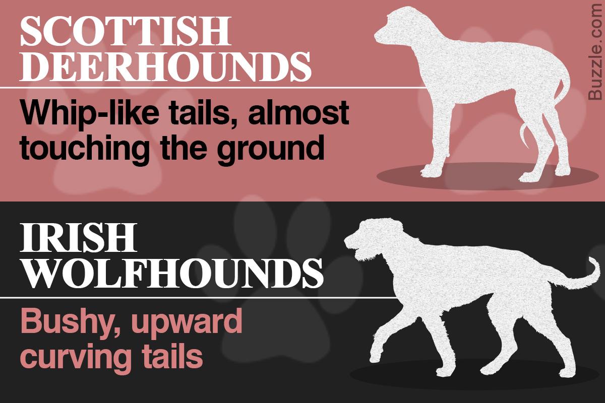 Comparison Between the Scottish Deerhound and Irish Wolfhound Dog Breeds