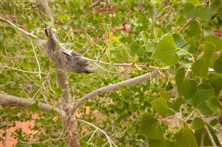Western Tent Caterpillars on Cottonwood Tree