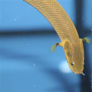 Snakefish (Erpetoichthys calabaricus)