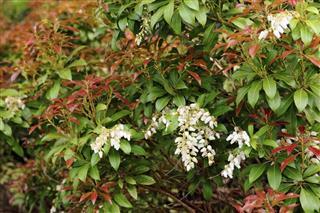 Photinia plant