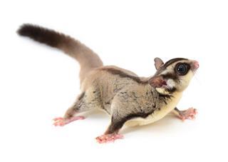 Flying Squirrel Animal