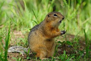 Ground squirrel Animal
