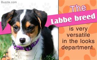 Fact about beagle-labrador retriever mix