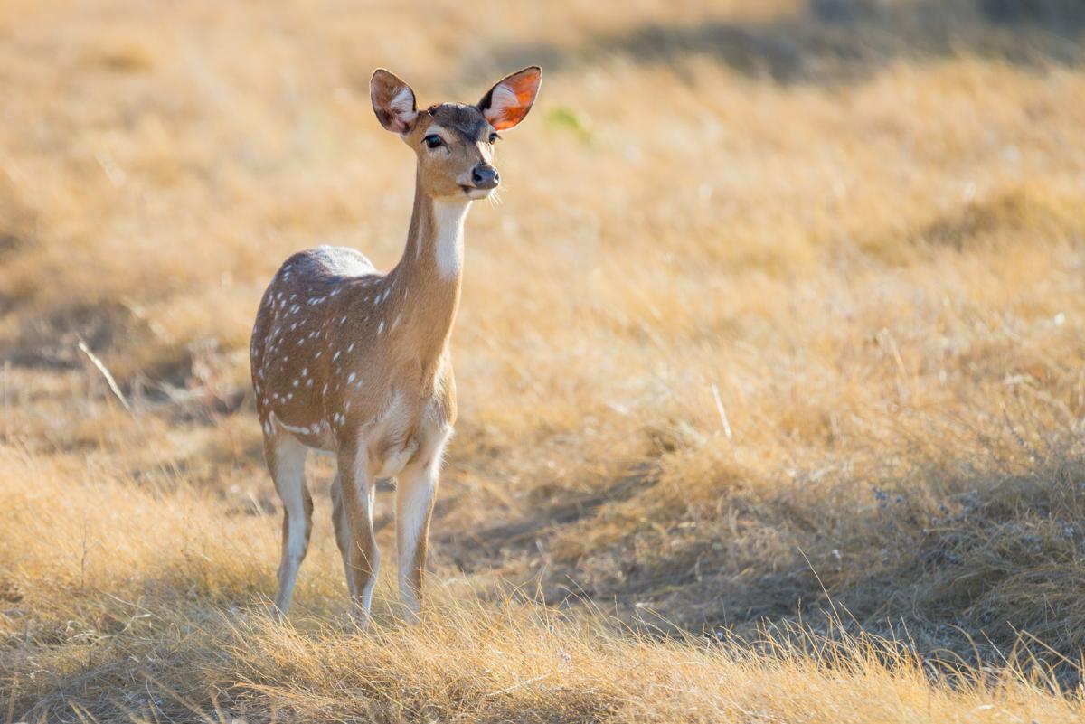 Deer spirit animal what does it symbolize spotted deer doe buycottarizona Images