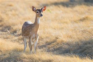 Spotted Deer Doe