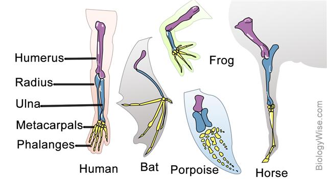 Homologous Forelimb Structure