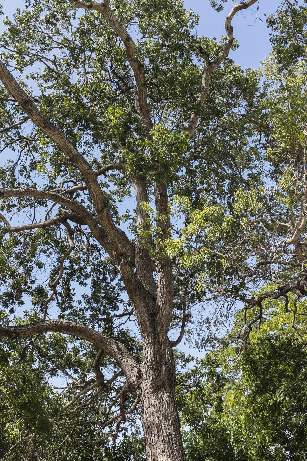 10 Types Of Mahogany Wood