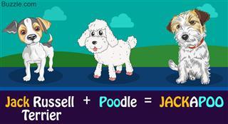 Parent breeds of jackapoo