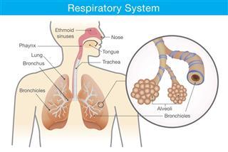 Respiration model
