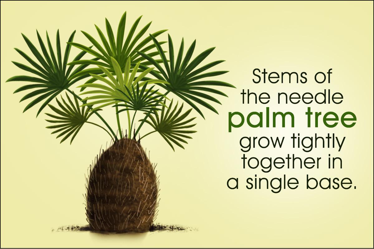 Needle Palm Care