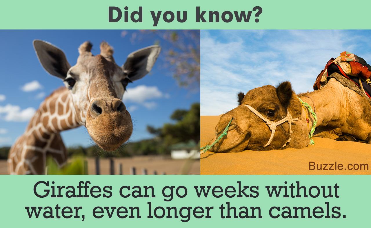 stupefying facts about giraffes that will make you gawk