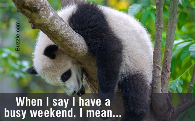Young panda bear sleeping in tree