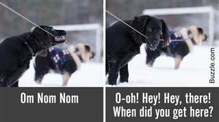Black spaniel chews leash that is bound to pug,