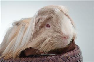 Guinea Pig Peruvian