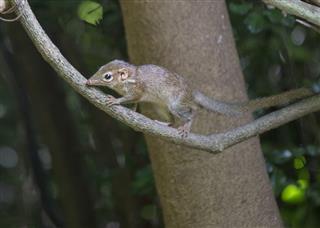 Pygmy Treeshew