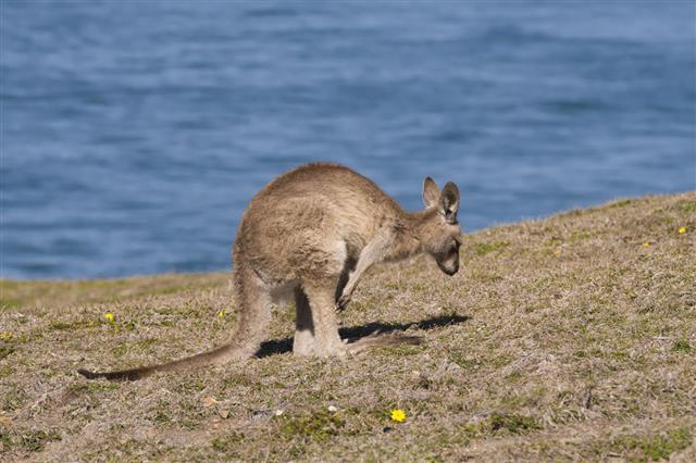 Kangaroo Near A Beach