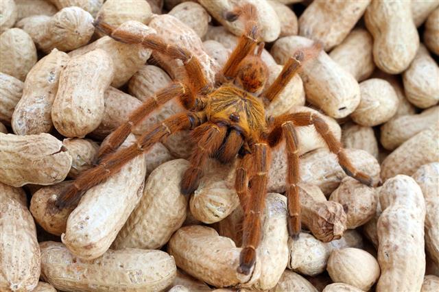 Orange Baboon Tarantula Spider