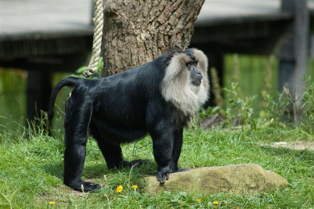 Cool Saki Ape