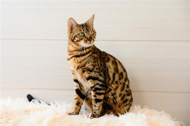 Cute Beautiful Bengal Cat