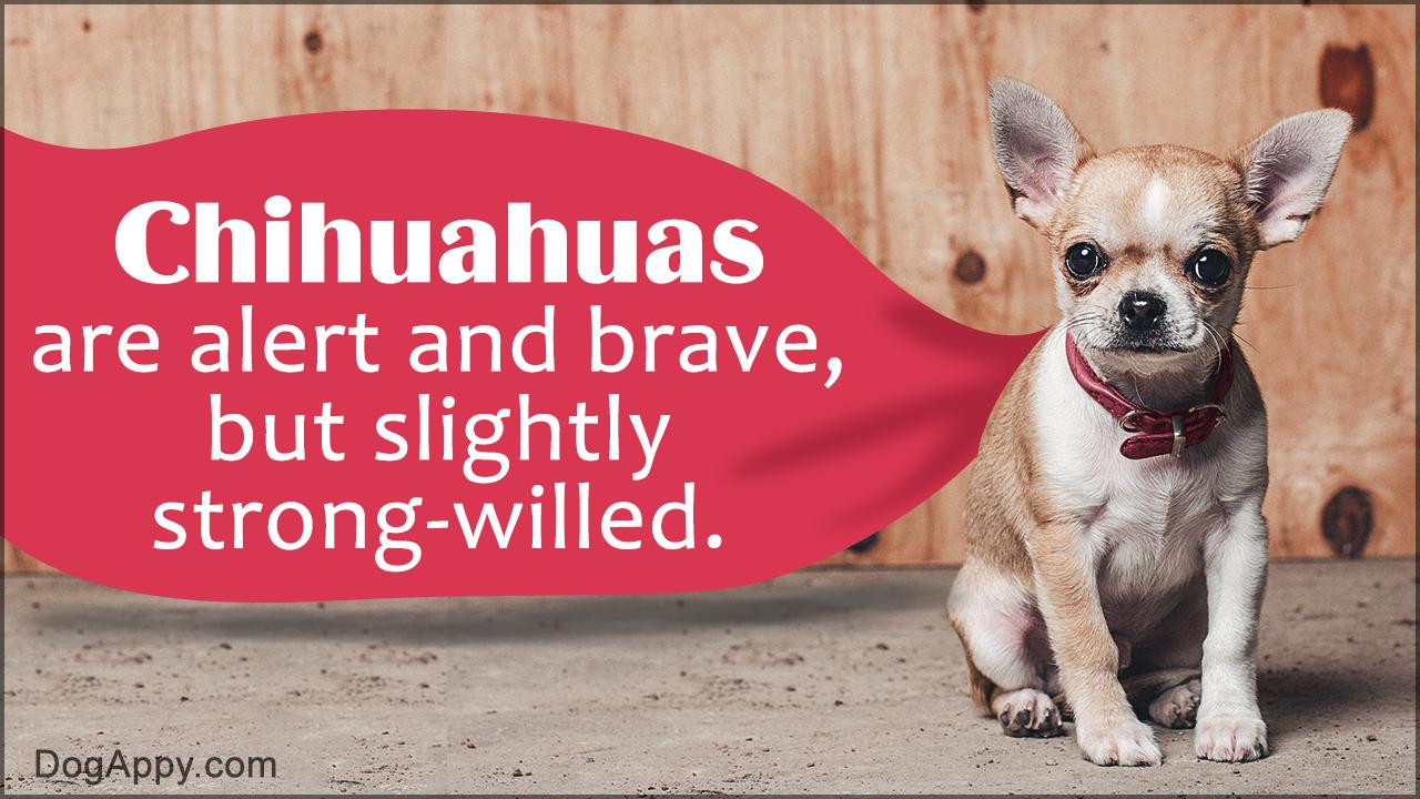 Chihuahua Behavior