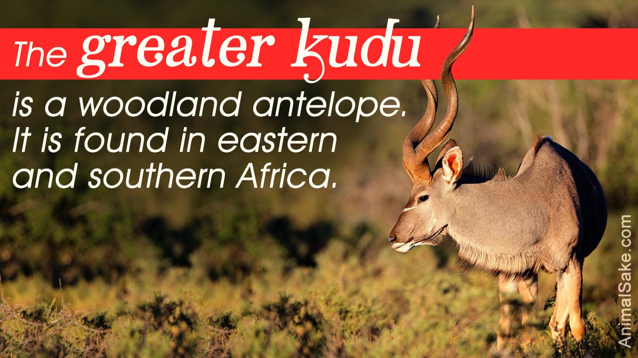 Large Antelope Species