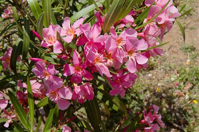 Flowering Oleander