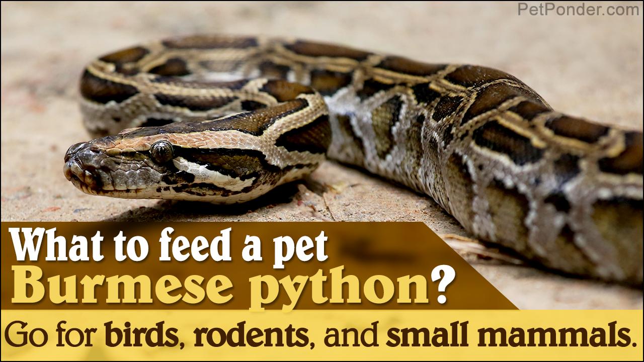 Burmese Python Care