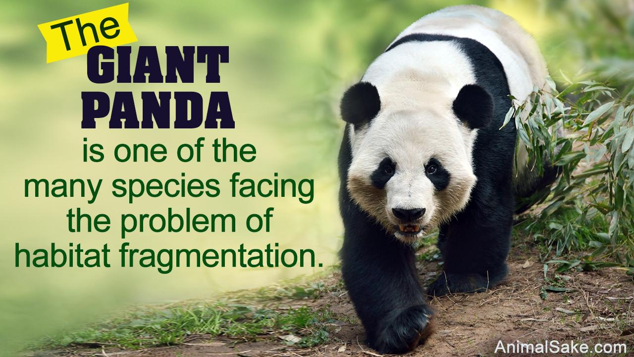 Where Do Pandas Live?