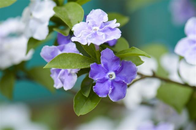 Violet Brunfelsia Jasmine Flower
