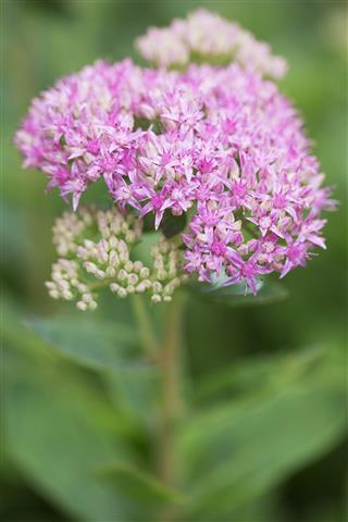 Pink Sedum Flower