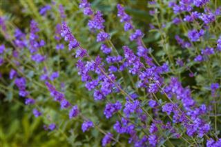 Nepeta Lavender Flowers